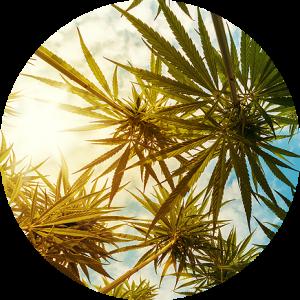 Cannabis Consultation and Litigation